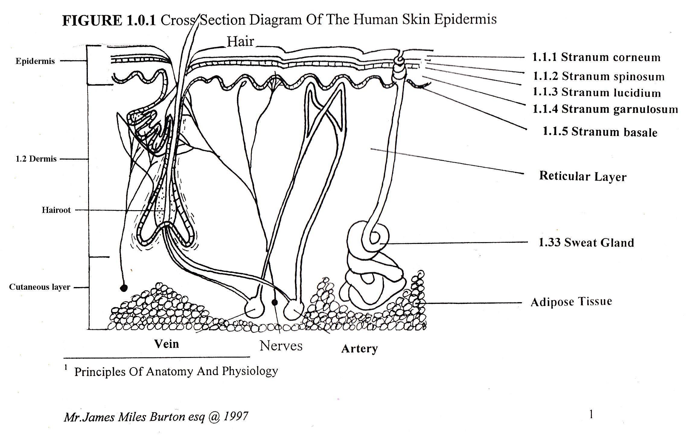 cross section diagram copulation human
