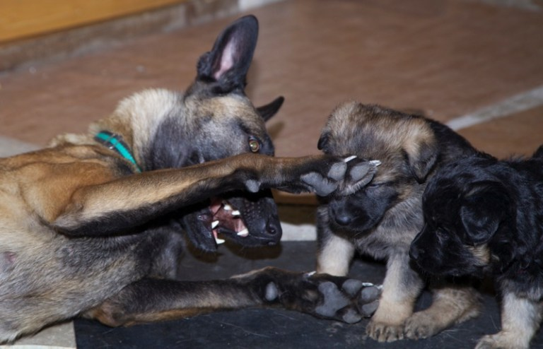 Этапы психического и физического развития щенка и как они влияют на последующее поведение Kitty-and-GSD-puppies