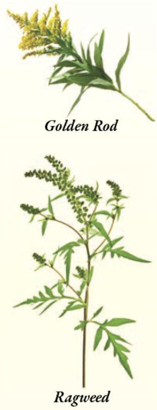 Ragweed Versus Golden Rod