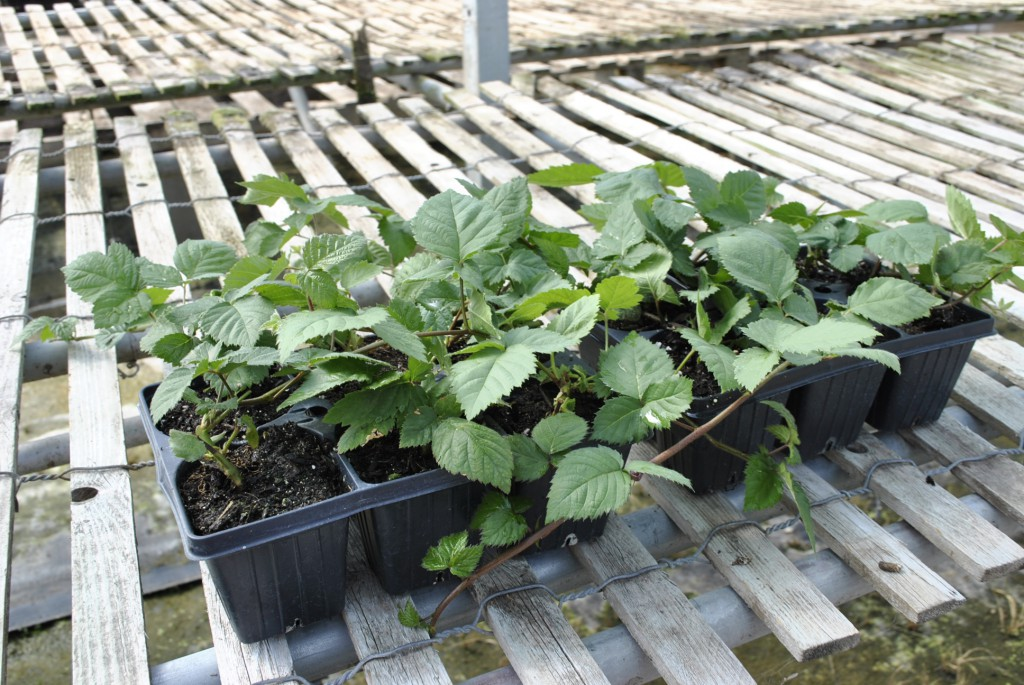 Which Blackberry Plants To Trellis - Stark Bro'S