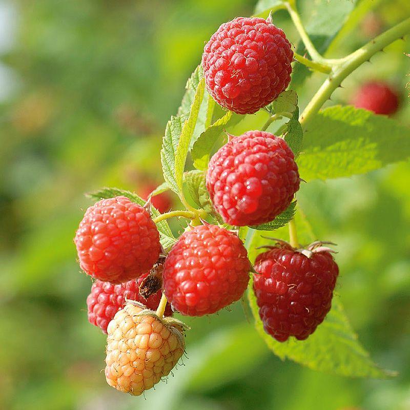 Fall Town Wallpaper Prelude Red Raspberry Raspberry Plants Stark Bro S