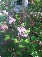 Lilac bush  050515