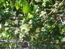blueberries coming  050515