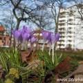 Offen Krokusblüten im Bad Oldesloer Kurpark