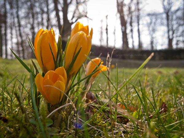 Gelber Krokus im Bad Oldesloer Kurpark