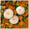 Drei Pilze im Herbstlaub