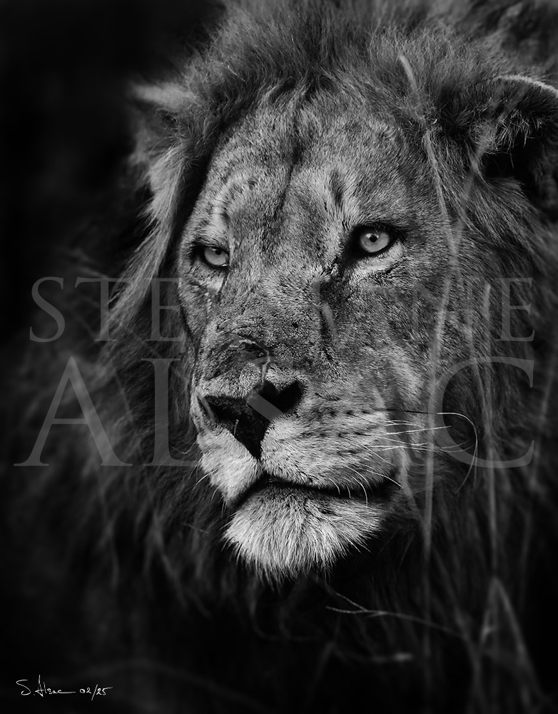 Lion Animal Wallpaper 3d Photographies St 233 Phane Alsac