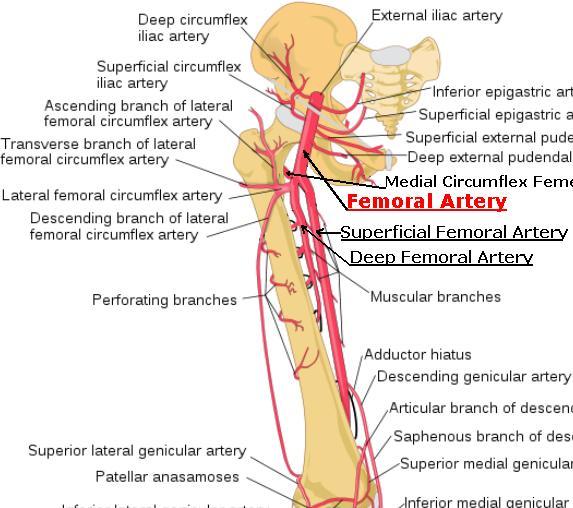 Anatomy of femoral artery