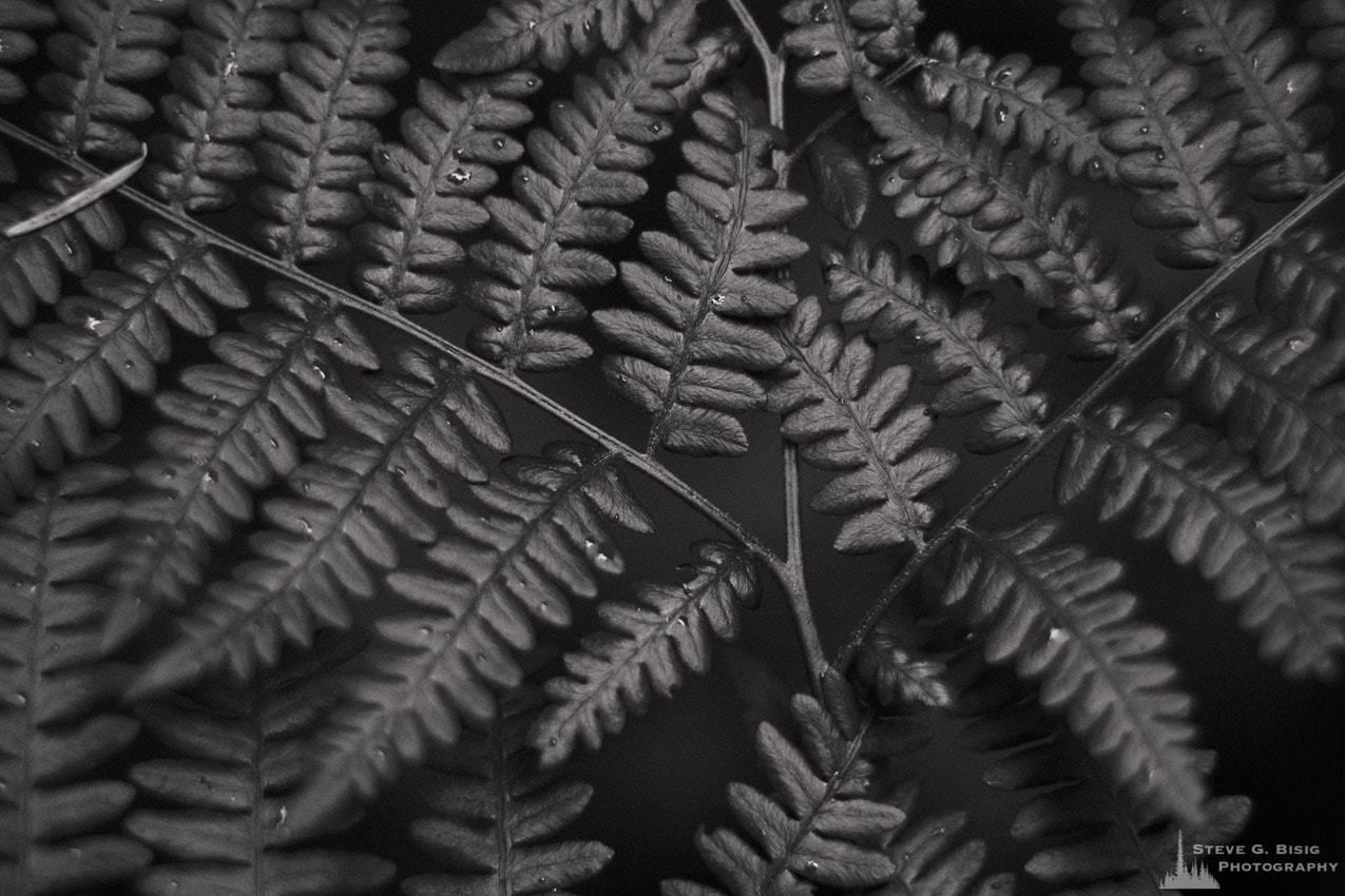 Ferns No. 4, Whidbey Island, Washington, 2014