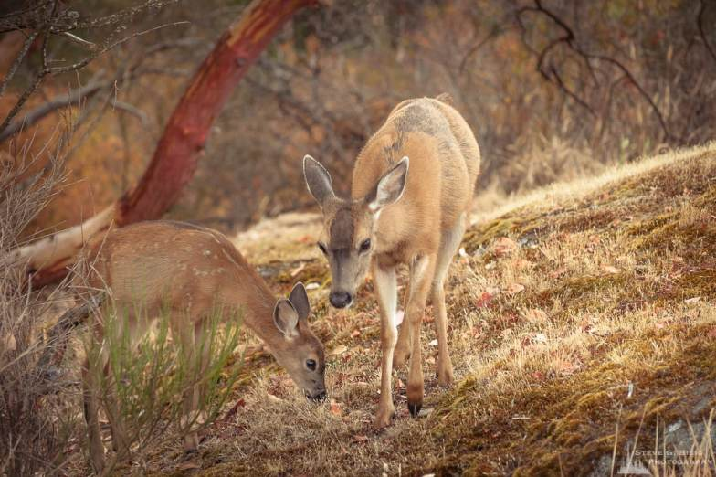 A nature photograph of a doe and fawn black-tailed deer (Odocoileus hemionus) as seen at the Cap Sante Park in Anacortes, Washington.