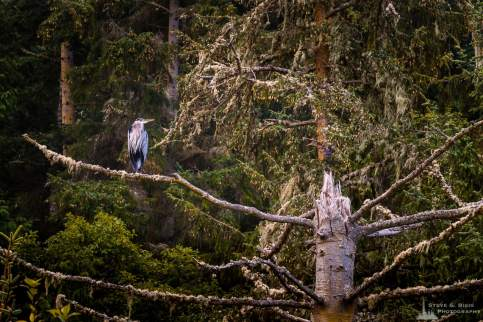 A nature photograph of a great blue heron (Ardea herodias) perched on the branch of a snag near Bowman Bay at the Deception Pass State Park, Washington.