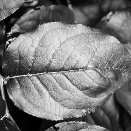 Salal, Whidbey Island, Washington, 2014