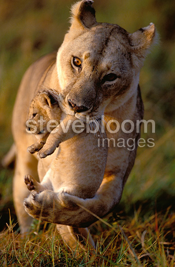 Cute Sleeping Babies Wallpapers African Lioness Carrying Her Cub In Her Mouth Masai Mara
