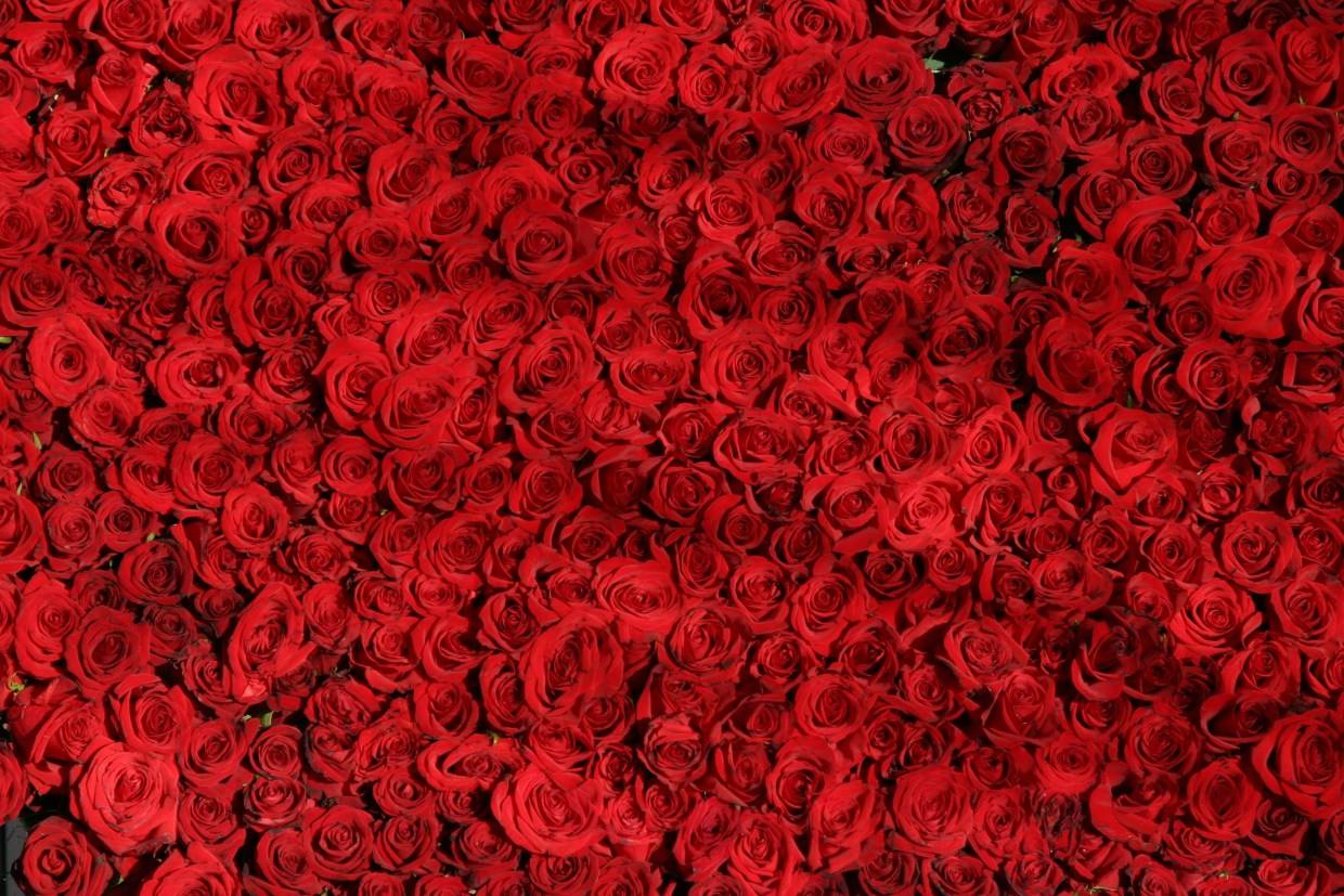 rose-roses-flowers-red-54320