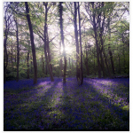 A Farewell to the Month of May, Bluebells and my Rolleiflex by Ibraar Hussain