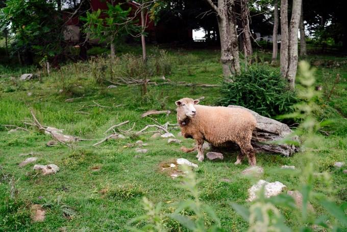 3 - sheep