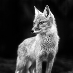 QUICK SHOT: The Fox. Olympus E-M1 by Jannes