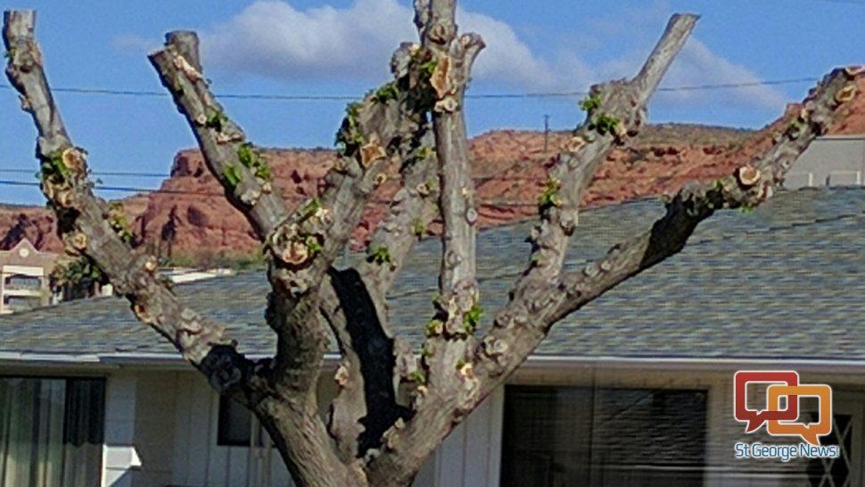 It\u0027s time to trim, but don\u0027t top those trees \u2013 St George News