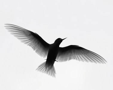 Fairy-tern