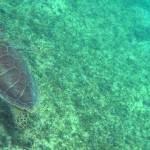 sea-turtle-stjohn-usvi-1400