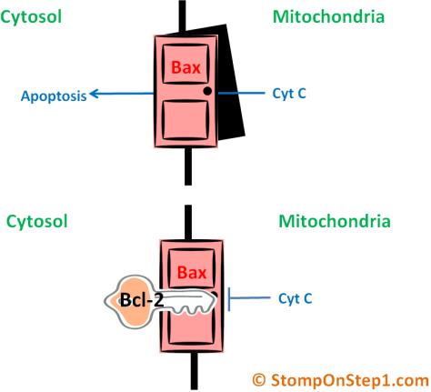 Bcl-2 Bax p52 Cytochrome C apoptosis