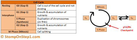 Cell Cycle Interphase G0 G1 S phase Mitosis