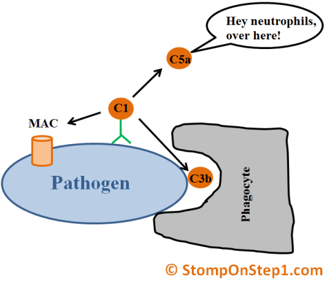 Complement System Immune Sysem