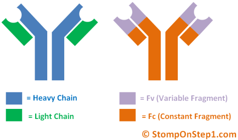 Antibody Structure Heavy Chain Light Variable Constant Region