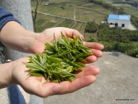 Fresh Spring Tea Travels in China: The Greens and the Whites