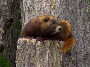marmot-hollis-jpg