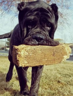 Exquisite Pics By Jared Howser Caters Now At A Whopping Stone On Herhindlegs She Can Reach Six She Is Believed To Be Worlds Largestpuppy Meet Biggest Bred To Replicate Extinct Ancient
