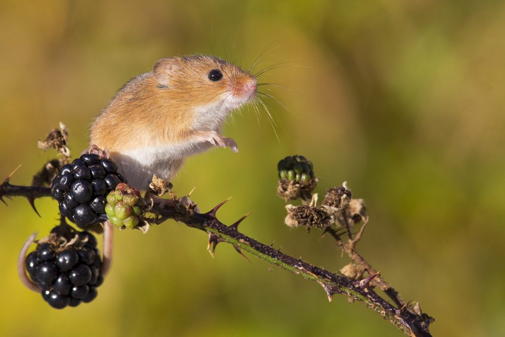 Twice as mice! Photographer captures adorable snaps of mice in