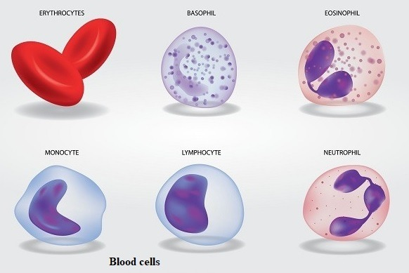 14 Types of Cells in Human Body and their Important Functions