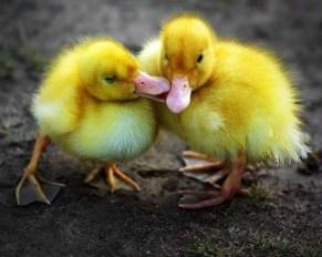 Zaljubljene patkice