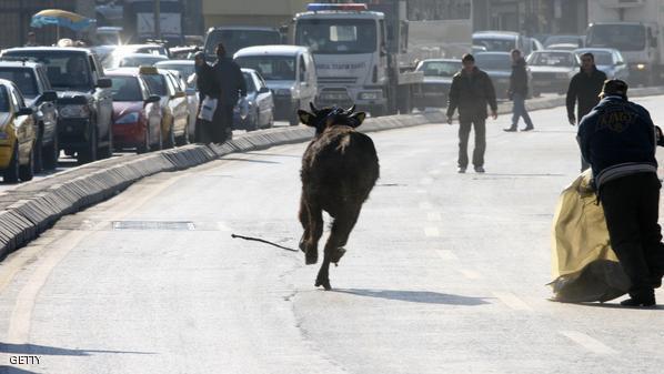 تركيا.. ثور يهرب خشية التضحية به في العيد