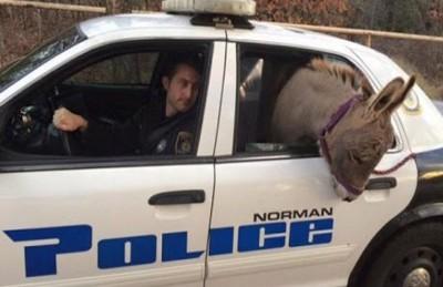 شرطي أمريكي يصطحب حماراً في سيارته