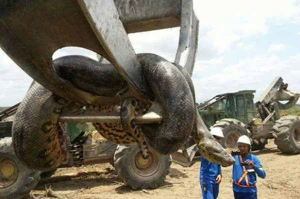 بالصور..أضخم ثعبان في التاريخ بالبرازيل يحتاج لرافعة لنقله