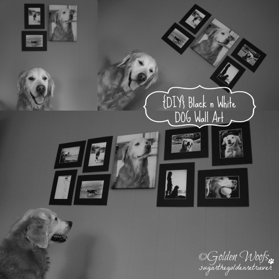 Admiring Black n White Photo Wall: Sugar The Golden Retriever