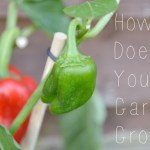 How Does Your Garden Grow? Red Pepper Anyone?