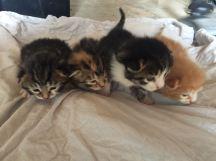 4 chatons à deux semaines