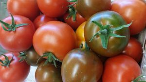 Members are going home with a bumper crop of tomatoes this year. Click the photo for more tomato recipes.