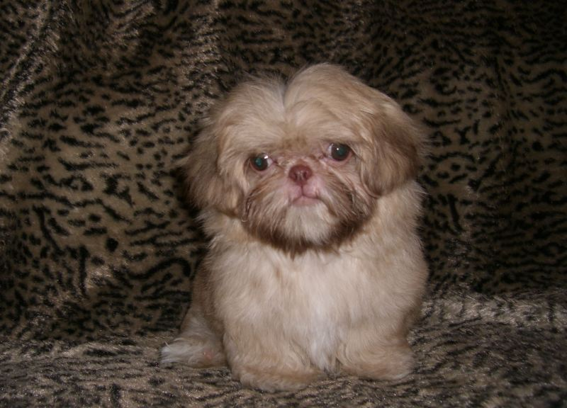Unique Wiltshire Gumtree Imperial Shih Tzu Weight Chart Imperial