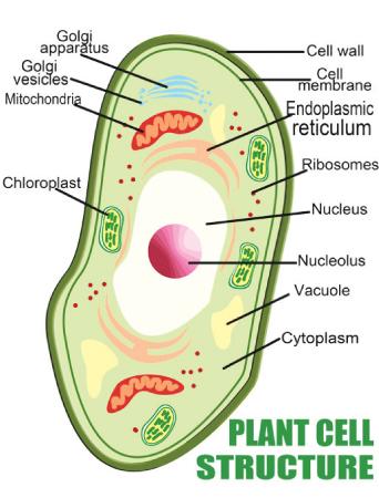 Biology  Cell Ribosome Sunday Observer