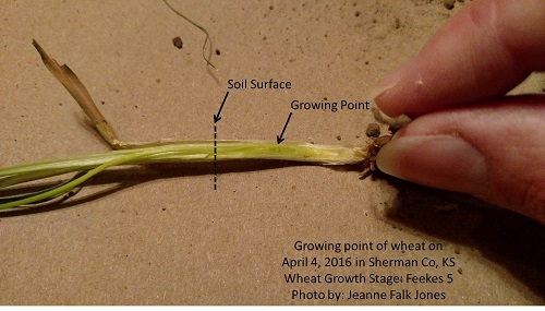 Wheat Development Wheat Agronomy Sunflower District