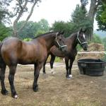"Matched Pair of Percheron Work Horses ""Slick"" & ""Willie"""