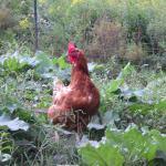 Sunnymede Farms chicken