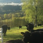 Sunnymede Farms Cattle in Field