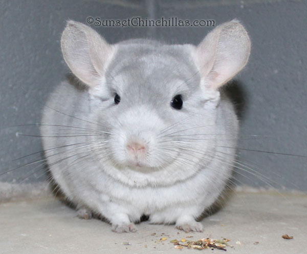 Chinchilla Colors