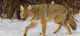 Coyote Animal Totem Symbolism & Meanings