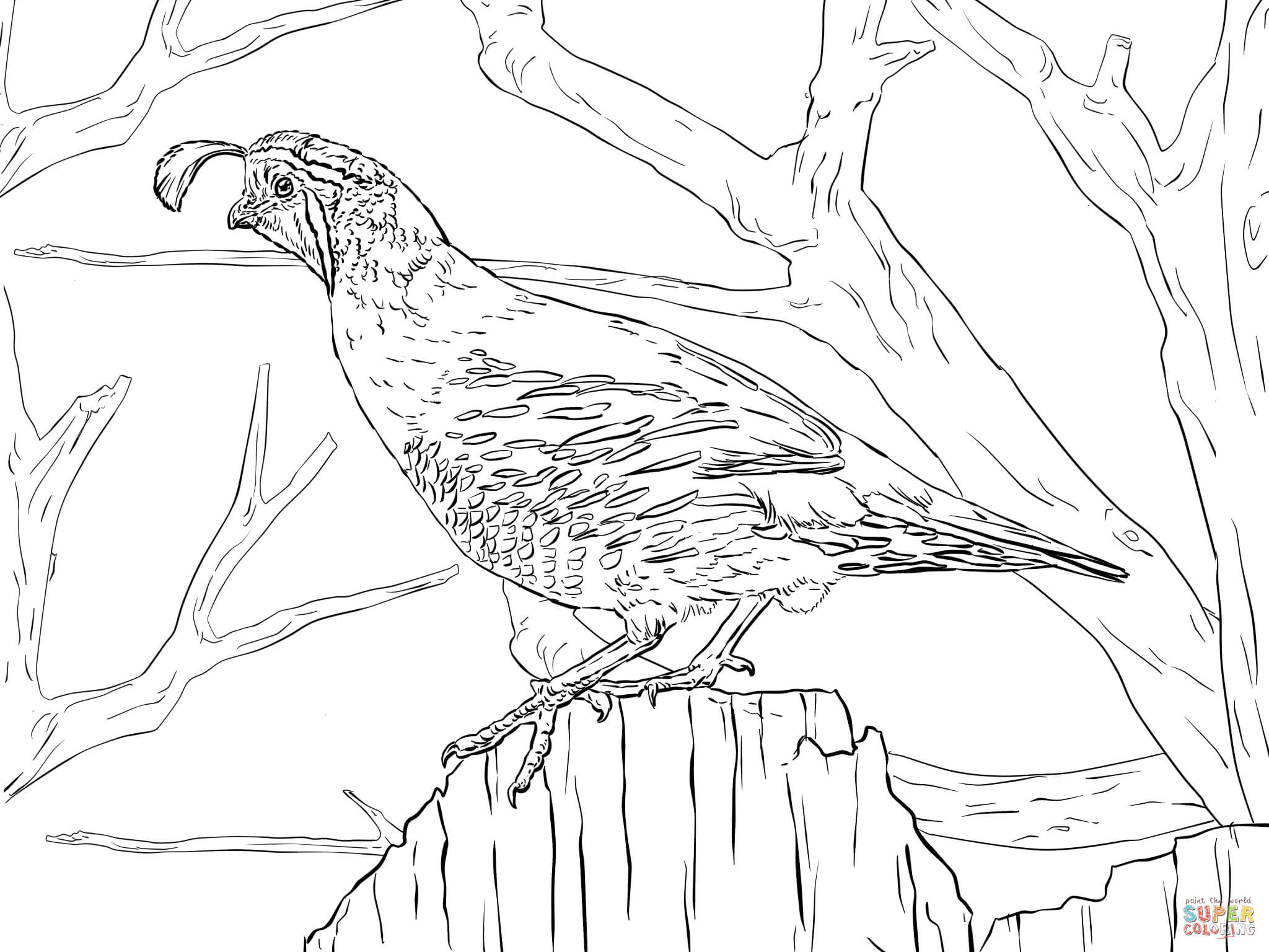 Coloring pages quail -  California Quail Coloring Pages Download
